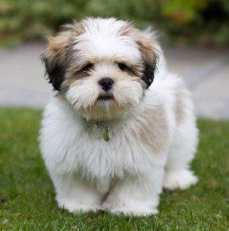 fotos de raças de cachorros pequenos