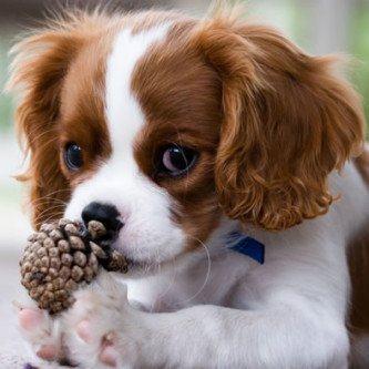 melhores raças de cachorros pequenos
