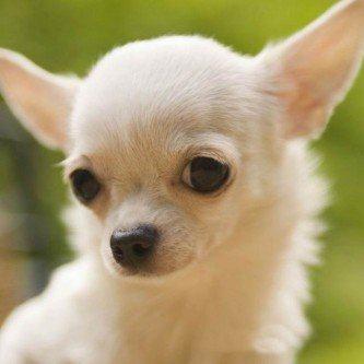 raças de cachorros pequenos